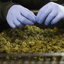 What Thailand Legalising Medical Marijuana Means